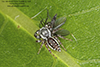 common white-cheeked jumping spider