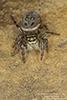 thin-spined jumping spider