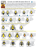Guide to MN Bumble Bees II (Males)