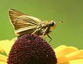 Iowa skipper