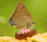 hickory hairstreak