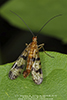 common scorpionfly (Panorpa sp.)