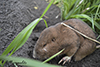 plains pocket gopher