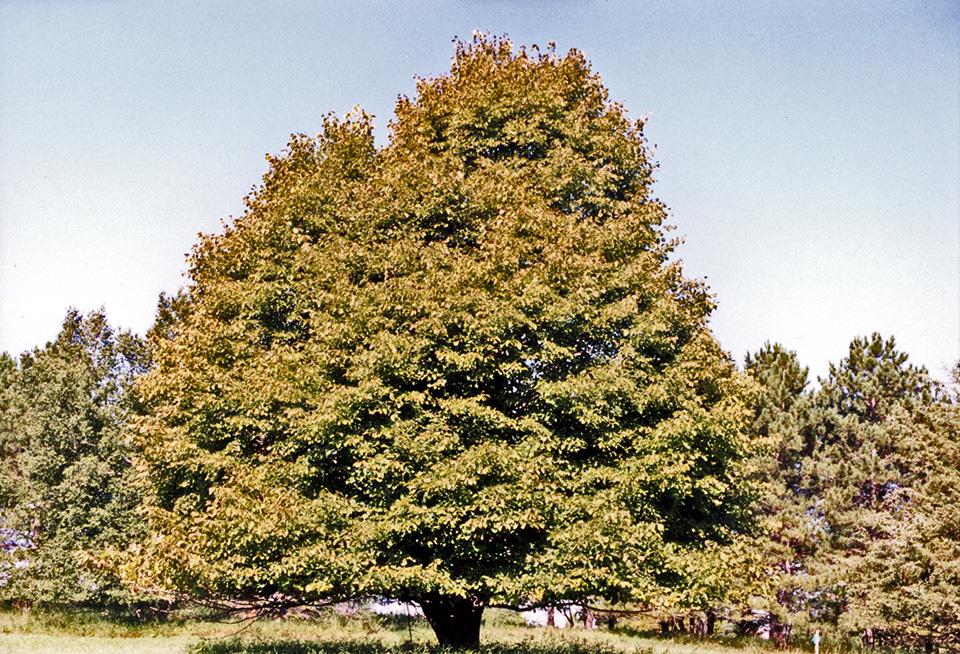 Minnesota Seasons American Basswood