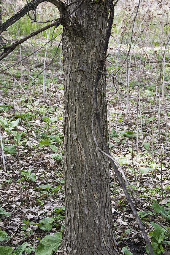 Minnesota seasons american elm for American elm
