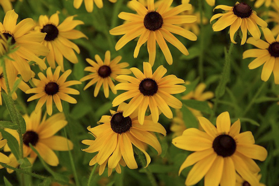 Minnesota seasons black eyed susan Black eyed susans