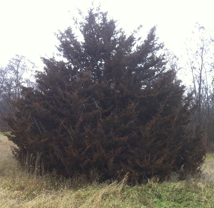 Eastern Red Cedar ~ Minnesota seasons eastern redcedar