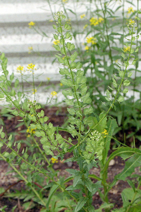 Minnesota Seasons - field pennycress