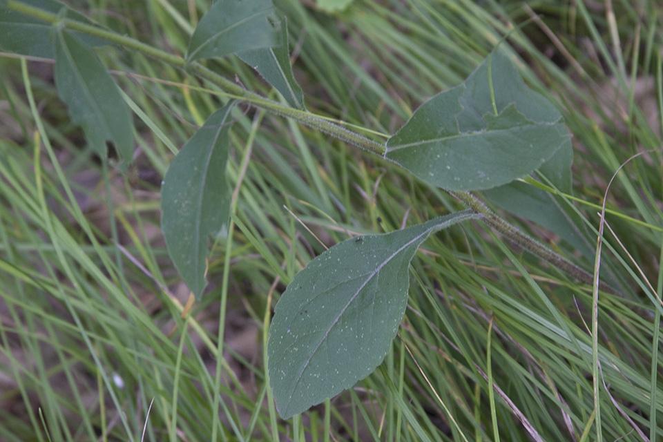 large hairy leaves jpg 1080x810