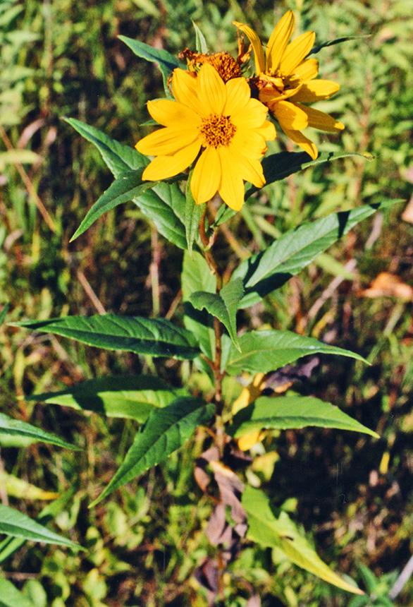 Minnesota Seasons - Jerusalem artichoke