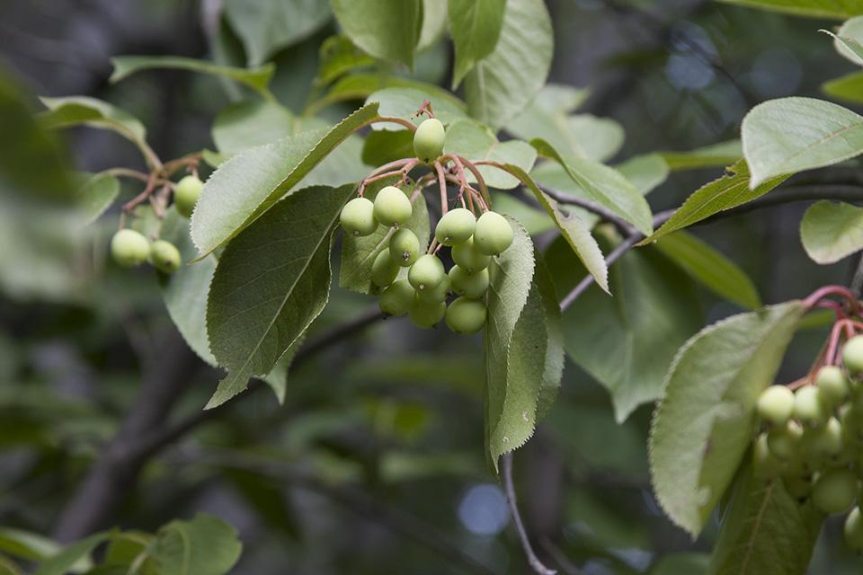 Viburnum lentago leaf