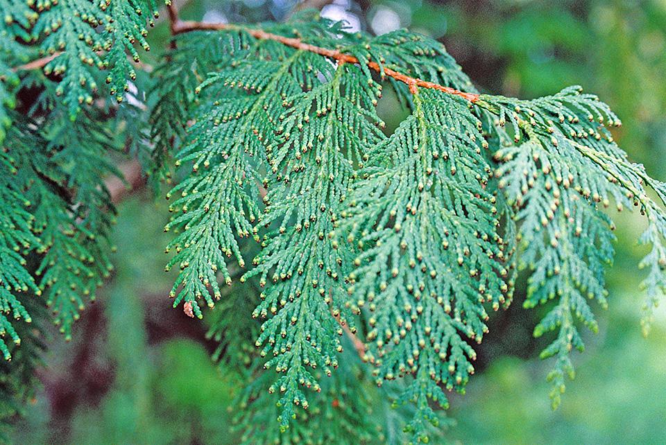 Northern White Cedar ~ Minnesota seasons northern white cedar