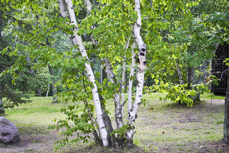 paper birch tree Where paper birch trees grow best: native to north america and happiest in  colder climates, this tree can survive in growing zones 2 to 7.