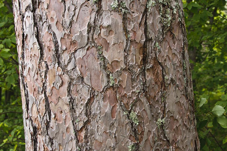 Minnesota Seasons – red pine Xylem And Phloem In Plants