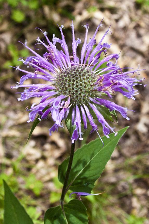Minnesota Seasons - wild bergamot