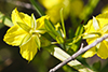 four-flowered yellow loosestrife