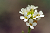 lyre-leaved rock cress