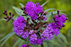 prairie ironweed