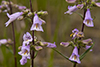 slender beardtongue