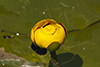 variegated yellow pond lily
